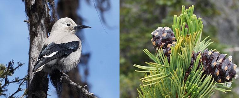 Clark's nutcracker and whitebark pine cones